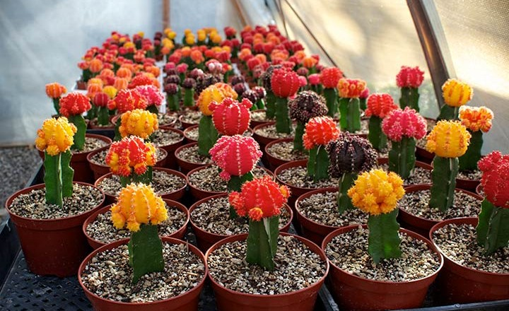 """Moon Cacti"" (Grafted)"