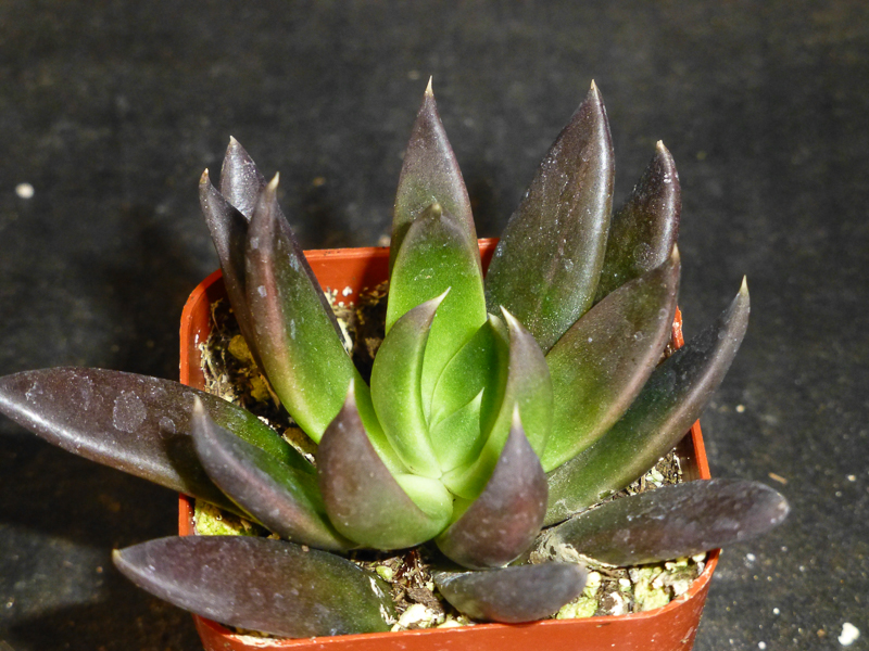 "Echeveria ""Black Knight"""
