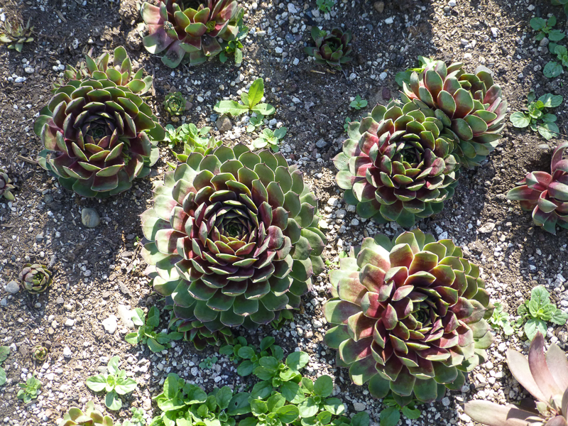 Sempervivum Silver King